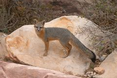 Red Fox. Standing on Boulder Stock Images