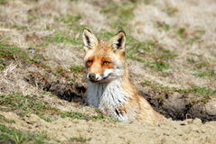 Red fox. In dirt hole Royalty Free Stock Photography