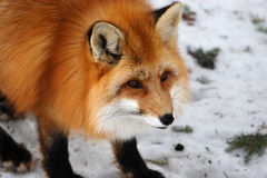 Red Fox. This animal is probably more numerous in North America now than when Europeans began to arrive in the 16th century.  They has a bad reputation as a Royalty Free Stock Image