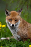 Red Fox. In British Countryside Stock Photography