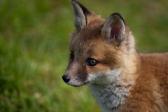 Red Fox. In British Countryside Royalty Free Stock Photography