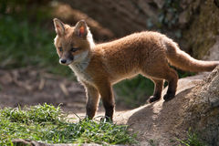Red Fox. In British Countryside Royalty Free Stock Image