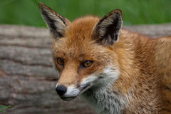 Red Fox. In British Countryside Stock Image