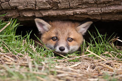 Red Fox. In British Countryside Stock Photos