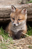 Red Fox. In British Countryside Stock Photo