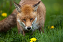 Red Fox. In British Countryside Royalty Free Stock Images