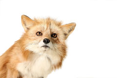 Red Fox. Studio portrait of a Red Fox against a white background Royalty Free Stock Image