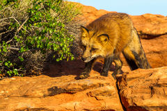 Red Fox. Adult Red Fox Stalking Along Brush On Rocky Ledge Royalty Free Stock Images