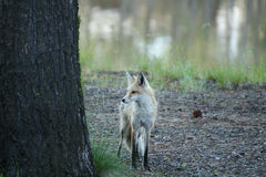 Red Fox on Alert Royalty Free Stock Photo