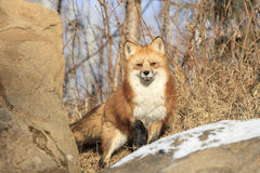 Red Fox on alert. Alert Red Fox standing by rock and snow Stock Images