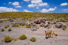 Red fox in Altiplano desert, sud Lipez reserva, Bolivia Royalty Free Stock Photo