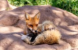 A red fox in america stock photos