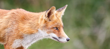 An red fox Stock Image