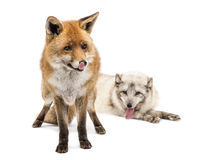 Red Fox and Arctic Fox isolated on white Stock Images