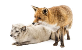 Red Fox and Arctic Fox, isolated on white Royalty Free Stock Photo