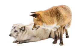 Red Fox and Arctic Fox, isolated on white Royalty Free Stock Photos