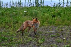 Red fox at arm`s length royalty free stock photography