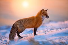 Free Red Fox At Sunrise Royalty Free Stock Photos - 162386398