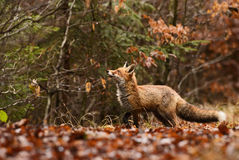 Red Fox. In autumn forest Royalty Free Stock Image
