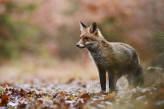 Red Fox. In autumn forest Stock Photo