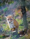 Red fox in the autumn forest Stock Photos
