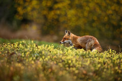 Red Fox. In autumn meadow Royalty Free Stock Image