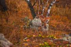 Red fox. In autumn taiga Royalty Free Stock Photos
