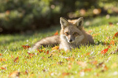 Red fox in autumn Stock Photo