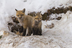 Red fox babies Royalty Free Stock Photography