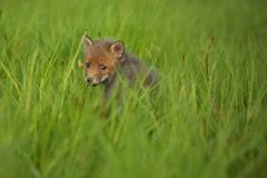 Red fox baby crawls in the grass. Captive animal in the nature habitat, red fox puppy, european forest animals stock images