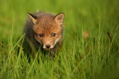 Red fox baby crawls in the grass. Captive animal in the nature habitat, red fox puppy, european forest animals royalty free stock photography