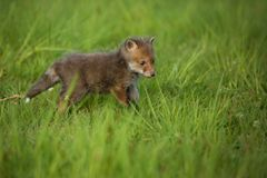 Red fox baby crawls in the grass. Captive animal in the nature habitat, red fox puppy, european forest animals royalty free stock photos
