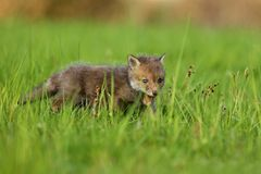 Red fox baby crawls in the grass. Captive animal in the nature habitat, red fox puppy, european forest animals stock photos