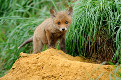 Red Fox Baby. This fox baby is going back to the hole in the earth Royalty Free Stock Images
