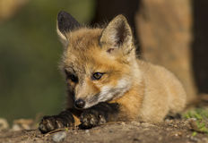 Red Fox baby. Playing  on the ground Stock Photography