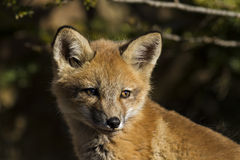 Red Fox baby Royalty Free Stock Photos