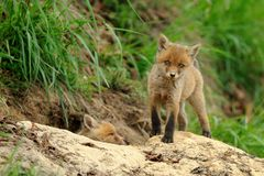 Red Fox Babys. This two fox babys i can photograph in the early morning out of their hole Royalty Free Stock Photography