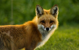 Red Fox Backlit Stock Photo