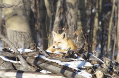 Red Fox Basking in the Sun Stock Images