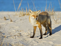Red Fox on Beach Stock Image