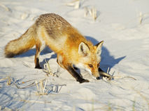 Red Fox on Beach Stock Images