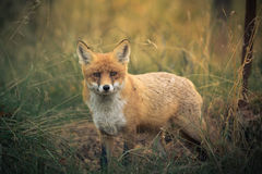 Red fox. Beautiful red fox posing in it`s natural habitat at sunset. Shot in Russia Stock Photography