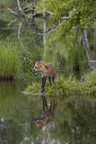 Red Fox with beautiful reflection Stock Photography