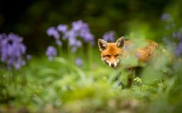 Red fox. A beautiful wild red fox looking at the camera in a woodland Royalty Free Stock Images