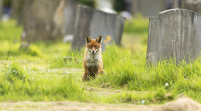 Red fox. A beautiful wild red fox looking straight at the camera in a graveyard Royalty Free Stock Image