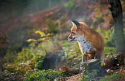Red fox beeing attentively Stock Photo
