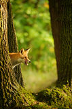 Red fox behind tree trunk peep a lick it self. Red fox hidden behing tree trunk peep a lick it self in beatuy sunny forest in autumn Royalty Free Stock Photography