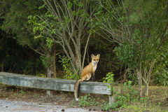 Red Fox on Bench by the Woods Royalty Free Stock Image