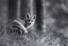 Red Fox. In black and white Stock Photography
