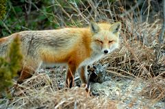 Red Fox Blinking Royalty Free Stock Photography